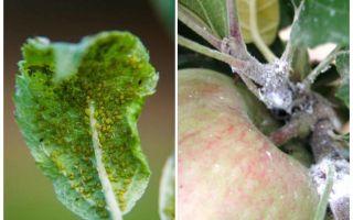 Elma ağaçlarında yaprak bitlerinden nasıl kurtulur