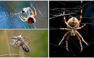 Örümcek ağları örttüğü için
