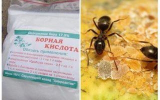 Dairede ve bahçede karıncalara karşı borik asit