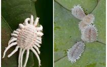 İç mekan bitkilerinde mealybug kurtulmak için nasıl