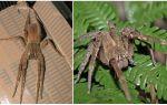 Açıklama ve fotoğraf örümcek serserileri