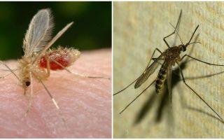 Sivrisinekler ve sivrisinekler arasındaki fark nedir?