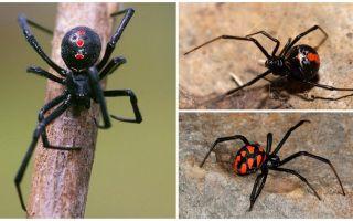 İsimleri ve açıklamaları ile örümceklerin fotoğrafları çeşitleri