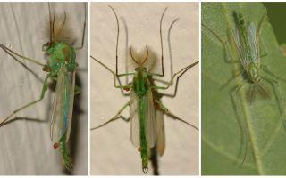 Yeşil çan sivrisinek (Dergun sivrisinek)