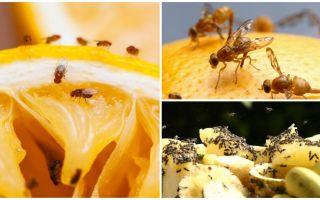 Mutfak mağazada meyve sinekleri ve halk ilaçları kurtulmak için nasıl