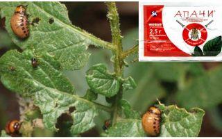 Colorado Patates böceği Apaches doğurmak nasıl