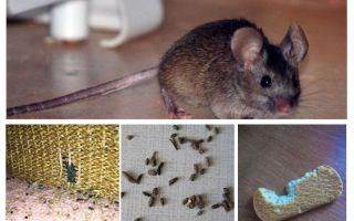 Apartmanda fareler nasıl başa