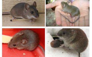 Ev fareleri