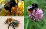 Bir yaban arısı nasıl görünüyor?