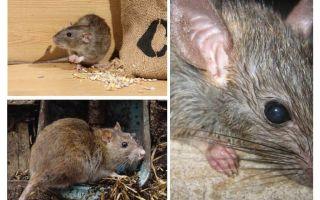 Sıçanlar insanlara saldırabilir