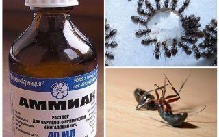 Karınca ve afidlerden gelen amonyak