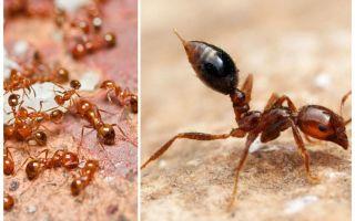 Bir apartmanda küçük kırmızı karıncalar kurtulmak için nasıl