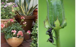 Bir saksıdan karıncalar nasıl kaldırılır