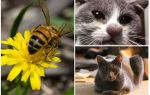 Bir kedi arı tarafından ısırılırsa ne yapmalı