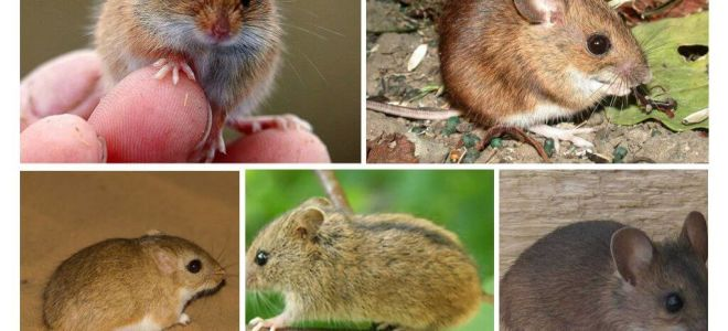 Tür çeşitleri ve fareler
