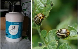 Colorado Patates Böceği Boreas için Çözüm