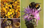 Bal bumblebees var mı