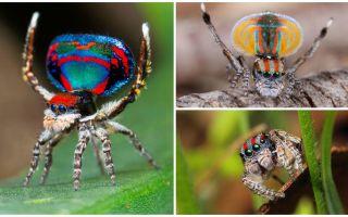Tavus kuşu örümceğinin tanımı ve fotoğrafı