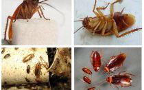 Hamamböceği nasıl görünüyor, fotoğrafları, türleri ve açıklaması