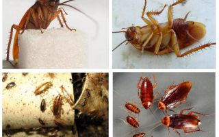 Kırmızı hamamböceği prusak ve nasıl kurtulmak
