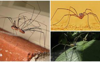Uzun ince bacaklı örümcek biçme