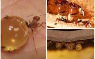 Bal karıncaları