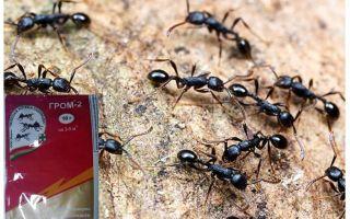 Karıncalar Thunder 2 anlamına gelir