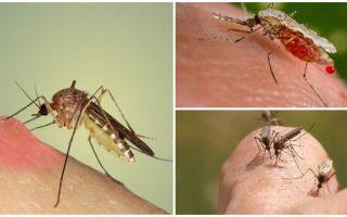 Sivrisinekler neden kan içiyor?