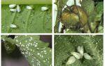 Seralarda domatesin üzerinde beyaz sinekle mücadele yöntemleri