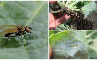 Bir lahana sineği ve onun larvaları ile nasıl baş edilir