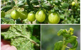Bektaşi üzümü üzerinde yaprak biti kurtulmak için nasıl