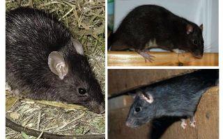 Siyah sıçanlar