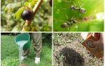 Kuş üzümü karıncaları ve yaprak bitleri ile nasıl baş edilir