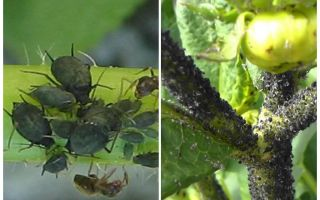 Domates ve salatalık üzerinde siyah yaprak bitleri ile nasıl baş edilir