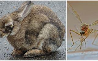 Sokakta ve tavşanlarda bulunan sivrisineklerden tavşanlar nasıl kurtarılır