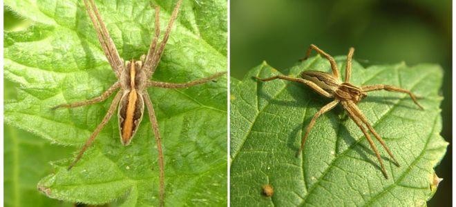 Saratov bölgesinin örümceklerinin tanımı ve fotoğrafları