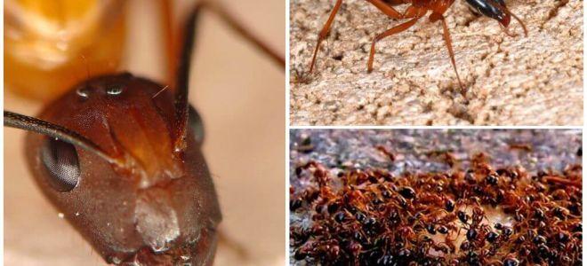 Kırmızı ateş karıncaları