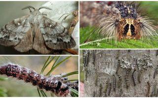 Bir tırtıl ve Sibirya ipekböceği kelebek açıklaması ve fotoğraf