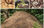 Karıncalar karınca yuvası