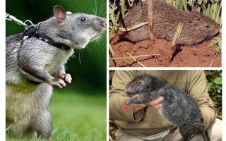 Dünyadaki en büyük sıçanlar