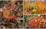 Sinekleri yiyen bitkinin adı, tanımı ve fotoğrafı