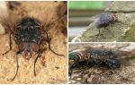 Mavi et sineğinin tanımı ve fotoğrafı