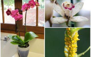 Orkide yaprak bitleri ile nasıl baş edilir