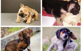 Bir köpek yavrusu pire kurtulmak için nasıl