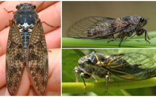 Cicada sineklerinin tanımı ve fotoğrafları