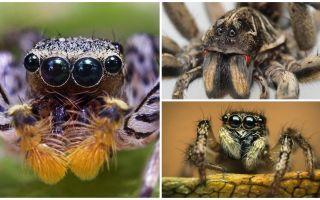 Bir örümceğin kaç gözü var?