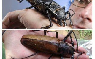 Titan oduncu böceği