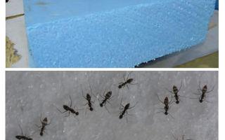 Karıncalar, penoplex ve köpük