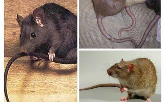 Sıçanlar kuyruk neden