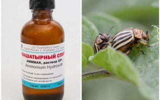 Colorado Patates böceği karşı amonyak